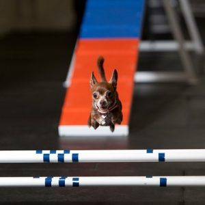 Zoom Room Franchise Photo - Chihuahua jump
